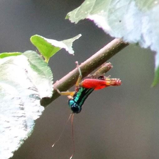 PN MANUEL ANTONIO / Les sauterelles se font belles