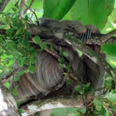 PN MANUEL ANTONIO / Le paresseux est plus souvent vu en boule comme ici. Il existe deux espèces : l'une avec deux griffes et l'autre à trois.