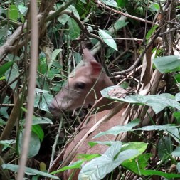 PN MANUEL ANTONIO / Moins exotique mais tout aussi étrange de tomber sur une biche dans une forêt tropicale du Costa Rica