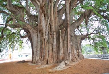 TULE / Après la forêt la plus haute du monde (Bolivie), nous vous présentons l'arbre le plus large du monde