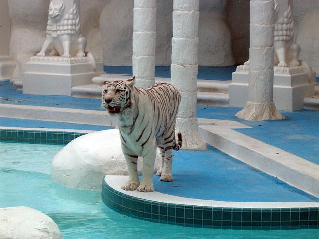 800px-The_Mirage_White_Tiger