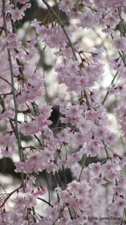Kyoto's cascading blossoms