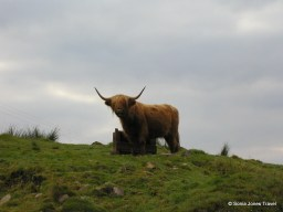 Hairy Coo - Highland Cattle