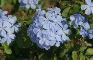 Plumbago from Central Texas Garden Blog
