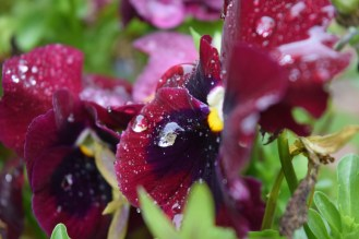 Rain refracts the colour of pansies in a weird way, make odd coloured droplets