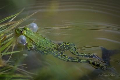 frog, Leipzig, Park, Auenwald, Blasen