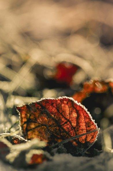 Winter, leaf, frost, Rauhreif, Schnee, snow