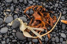 Seetang, Kiesel, Strand, pebble beach, Island, Iceland