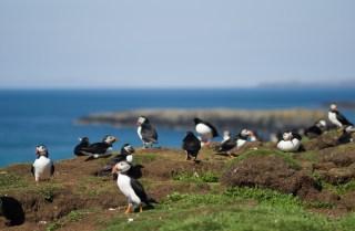 Papageientaucher, Lunga, Schottland, Scotland, Turus Mara, Isle of Mull, Oban, Naturfotografie, Seevogel, nature photography