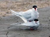 Terns in Love