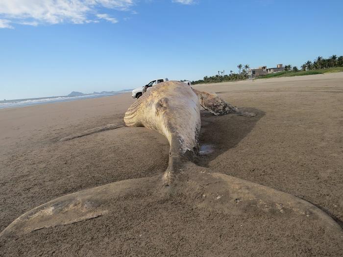 ballena-jorobada-muerta-en-Mazatlán