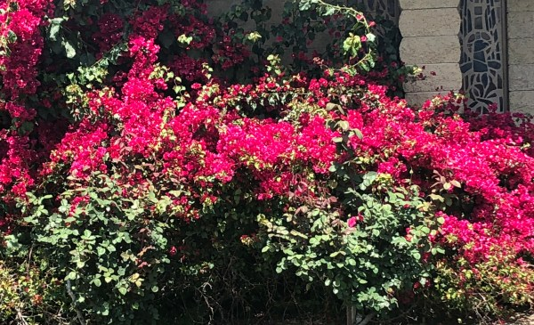 Bougainvilleas April 8 2018 St Phillips.jpg