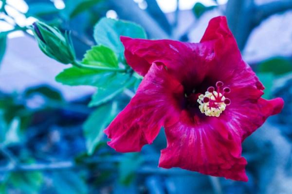 close up of magenta flower