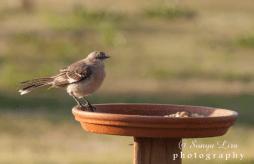 mockingbirdmorning2