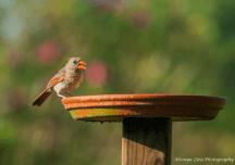 redbirdsonyaliraphotography1