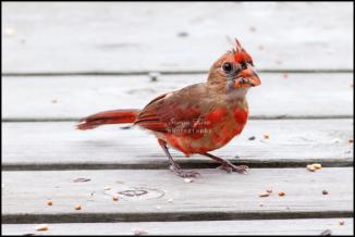 sonyaliraphotographyredbird2-1