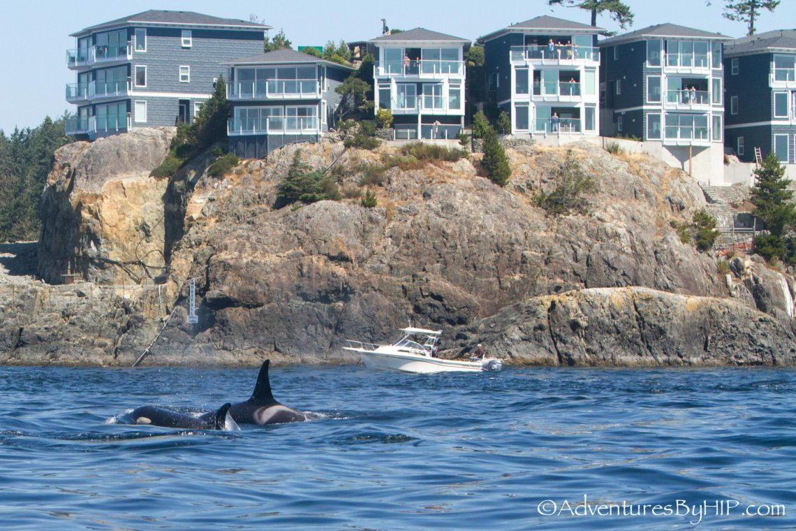 20180724-spocr-orca-sighting-by-adventures-by-hip