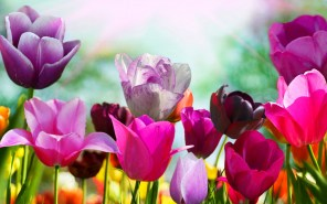 tulip-flowers