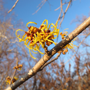 Witch hazel at the Missouri Botanical Garden, courtesy of: https://stlouisnativeplants.com/blog/