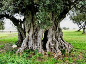 Ancient olive tree (photo from Medilico's Olive Facts)