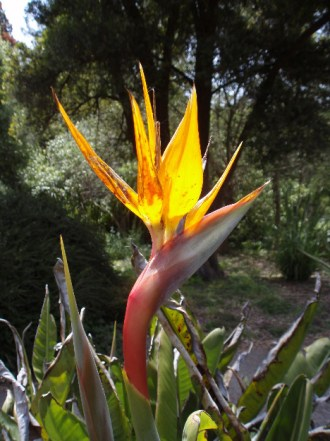 Bird of Paradise at San Francisco's Botanical Gardens. Photo taken by Jamie S. Walters of Sophia's Children. Use it with credit given and link to this post per Creative Commons guidelines.