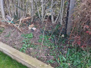 There is supposed to be rhubarb popping up here!