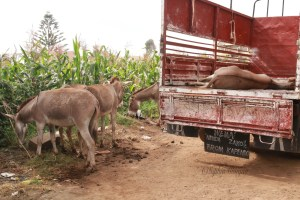 Illegal donkey trade.