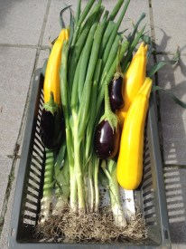 More aubergines, courgettes, bunch of spring onions & Summer leeks!