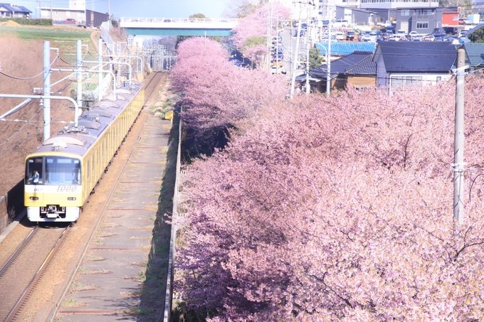 Sakura surprise! The coolest thing about this cherry blossom photo actually isn't the flowers