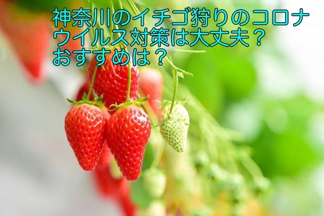 イチゴ狩り コロナウイルス 神奈川