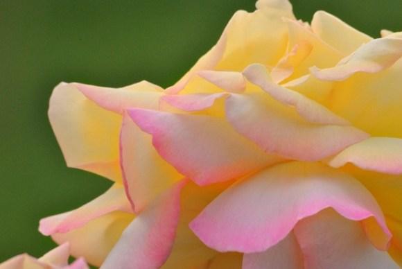 rose-399788_640
