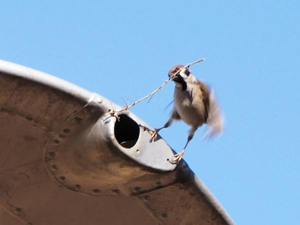 スズメの巣作り