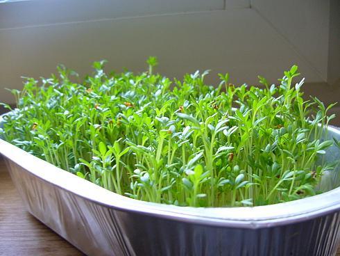 Как вырастить огурцы зимой в квартире: на подоконнике или балконе. Как вырастить огурцы на подоконнике зимой в квартире