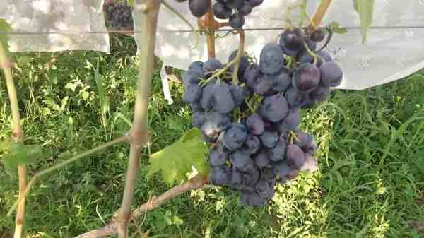 """Виноград """"Руслан"""": описание сорта, фото, отзывы, видео"""