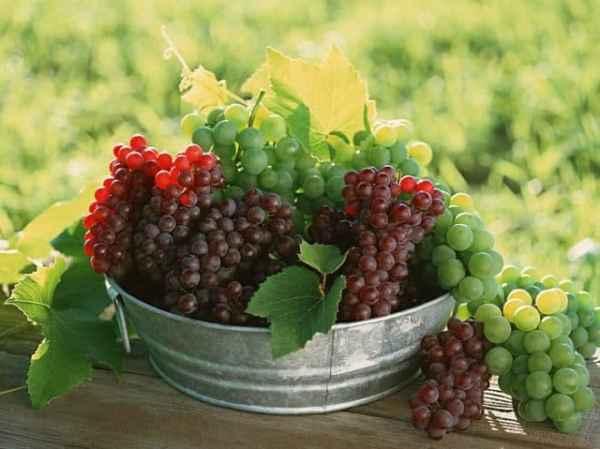Болезни винограда с фото и борьба с ними
