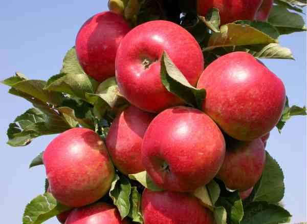 Сорта яблок - список по алфавиту: фото и названия