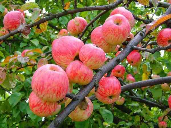 """Яблоня """"Осеннее полосатое:"""" описание сорта, фото, отзывы"""