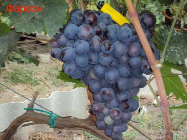 """Виноград """"Фараон"""": описание сорта, фото, отзывы"""
