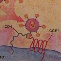 Células CD4 -  Macrófagos -  Células T