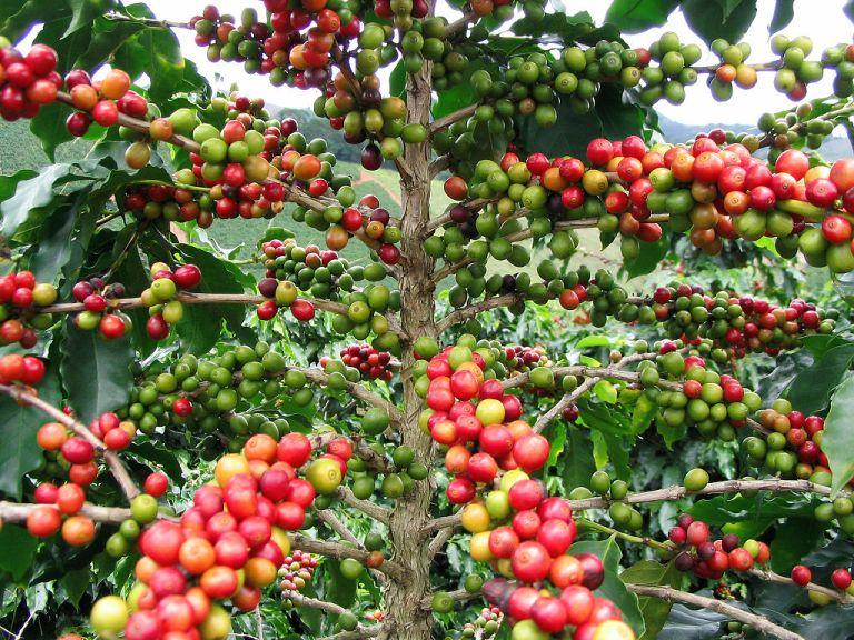 Planta del café Sorpresa Gourmet blog