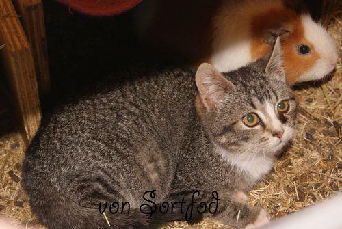 Marsvin og katte 1