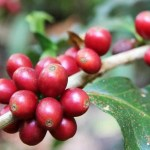Travel to Doi Suthep, Chiangmai, Thailand. The red coffee berries closeup on a branch.