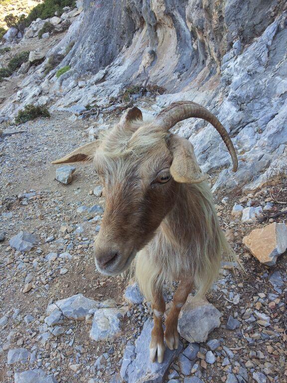 Ziegen auf Kalymnos