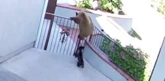 3 bjørner tar seg inn på eiendommen - lite visste de at der voktet en modig bulldog!