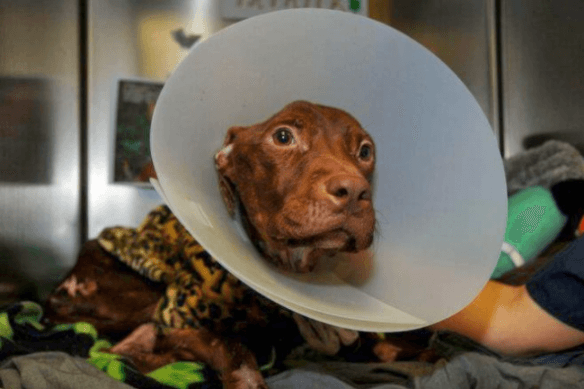 Mishandlet hund