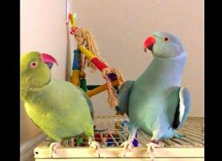 papegøyer