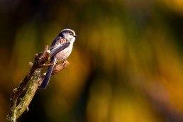 uccello4