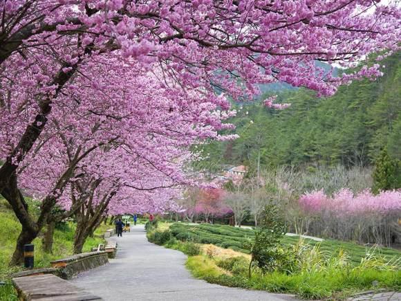 Sakura_Garden