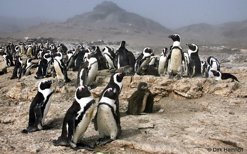 Pinguine-Halifax-2-outd