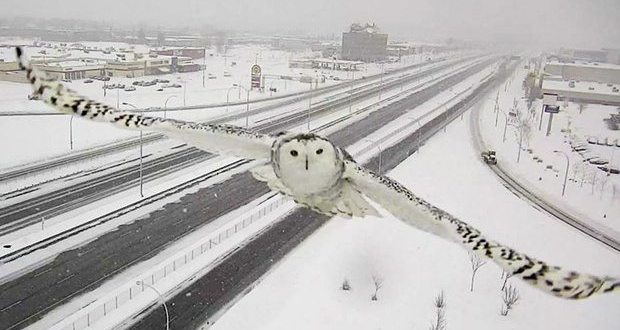 Montreal Traffic Camera Captures Stunning Video of Snowy Owl in Flight